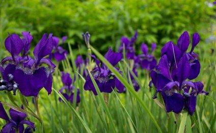 Ирис, Цветы, Сад, Фиолетовый