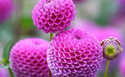 Яркий розовый георгин - шедевр
