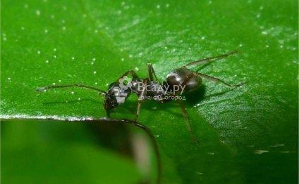 Польза и вред от муравьев в